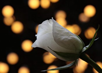 horoscop dragoste - sfatulparintilor.ro - pixabay_com - rose-3121243_1920