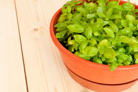 sfatulparintilor.ro - busuioc - plante tamaduitoare
