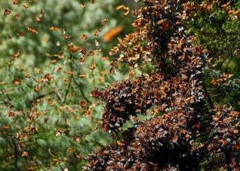 fenomene ale naturii- sfatulparintilor.ro - migratia fluturilor moharh - listverse.com