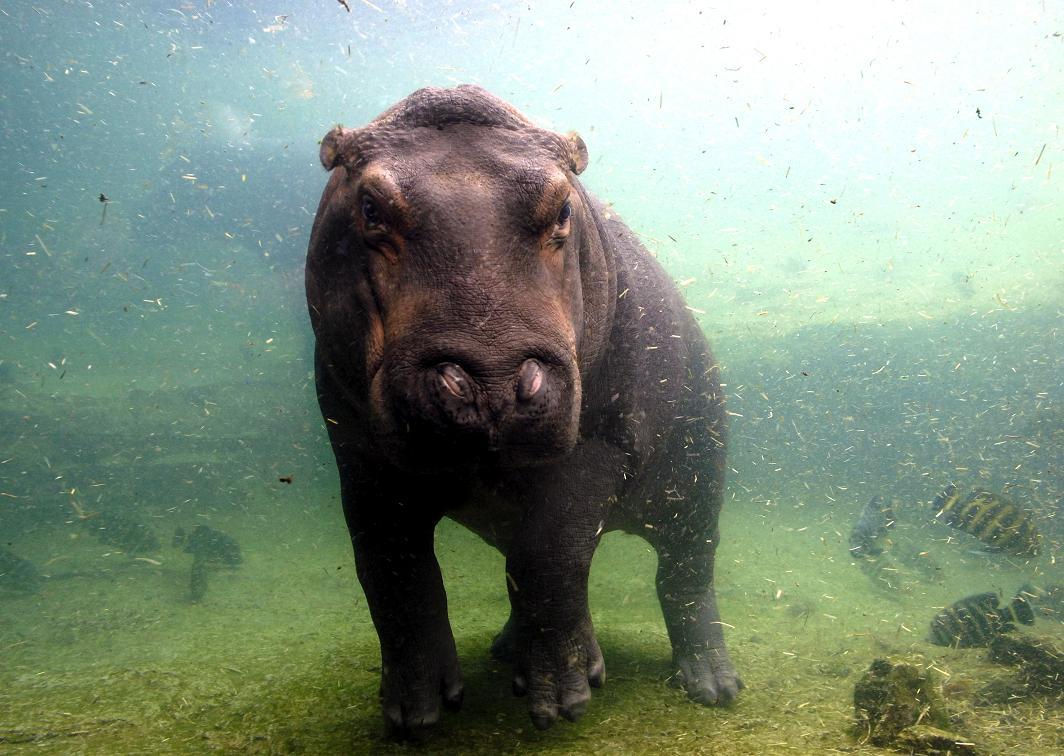 sfatulparinitlor.ro - hipopotam - credit foto RTV