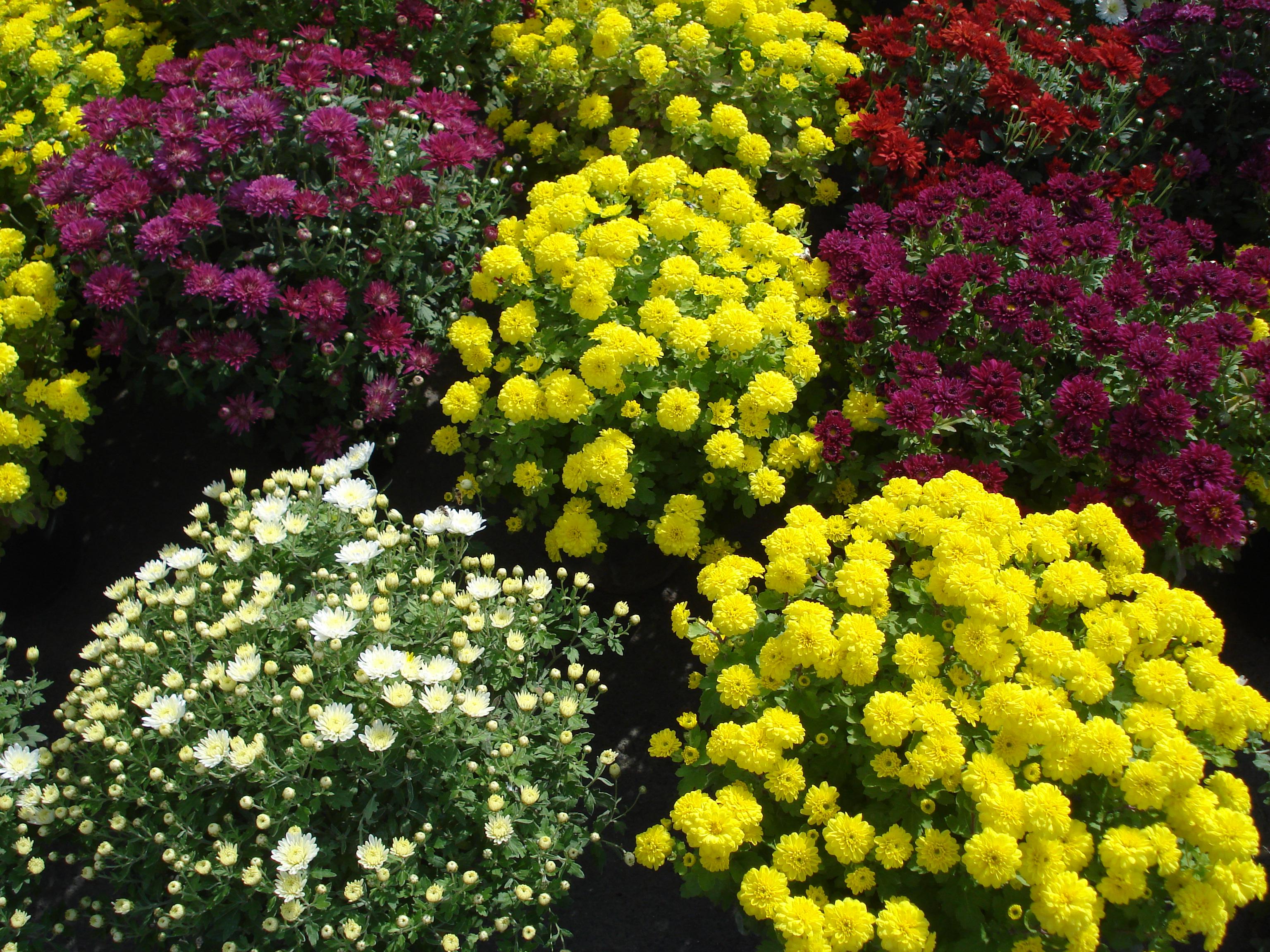 sfatulparintilor.ro - flori crizanteme - stockfreeimages.com