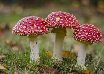 produse care-ti pot otravi copilul - sfatulparintilor.ro - pixabay_com - fly-agaric-595963_1920