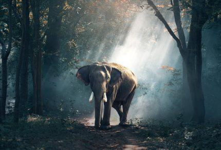 animale pe care oamenii le mananca - sfatulparintilor.ro - pixabay_com - elephant-1822636_1920