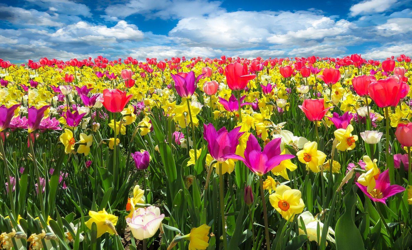 Cele mai parfumate flori din lume - sfatulparintilor.ro - pixabay_com - tulips-1197602_1920