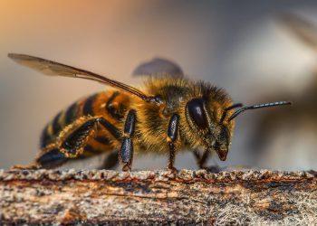 Intepaturile de albine - sfatulparintilor.ro - pixabay_com - insect-3330060_1920
