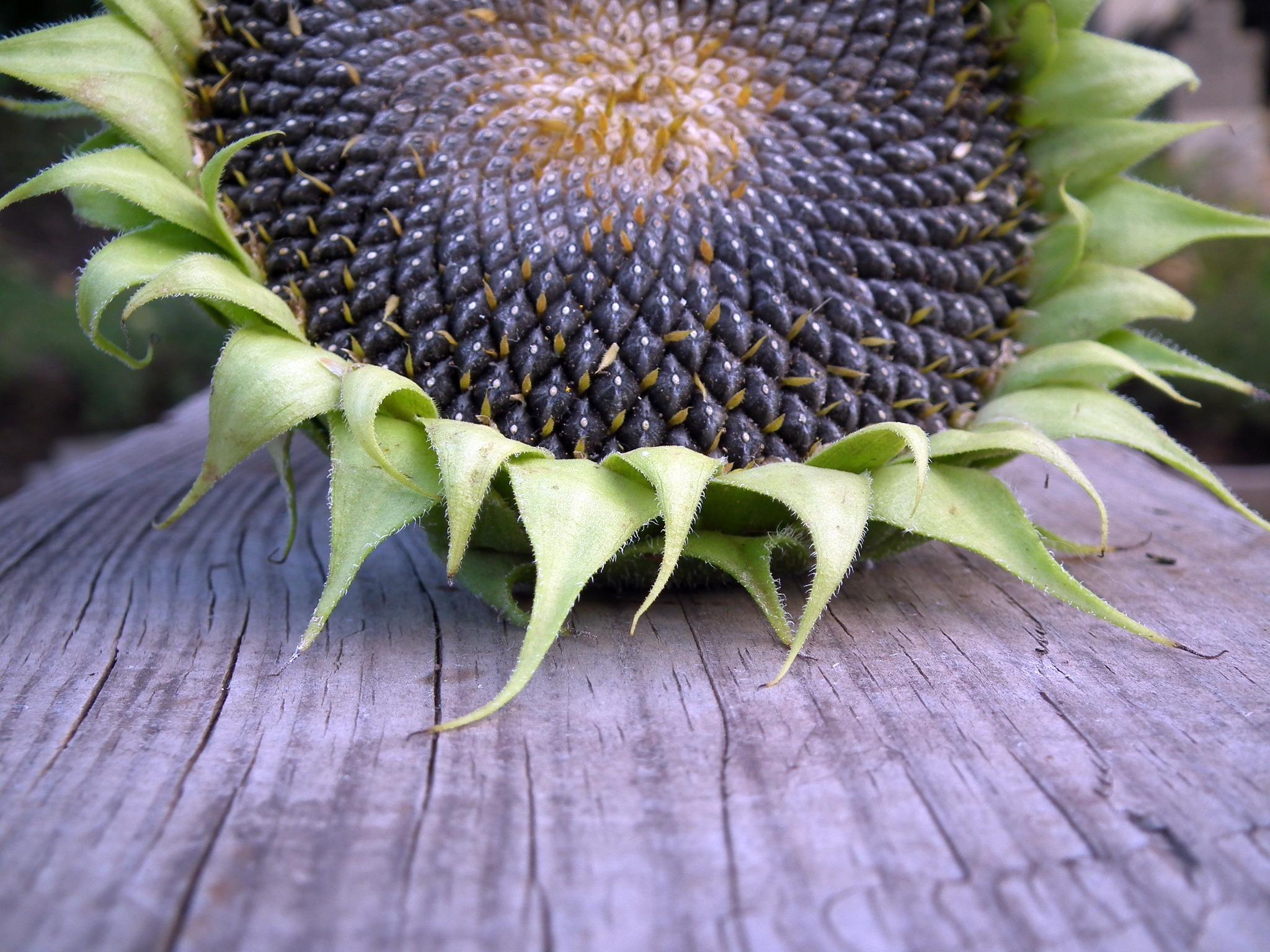 seminte de floarea soarelui - sfatulparintilor.ro - pixabay-com - sunflower-193468
