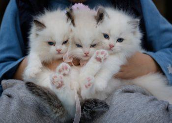 mituri despre pisici - sfatulparintilor.ro - pexels_com - close-up-photo-of-a-hand-holding-three-white-kittens-1643456