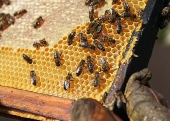 propolis miere albine - sfatulparintilor.ro - pixabay_com