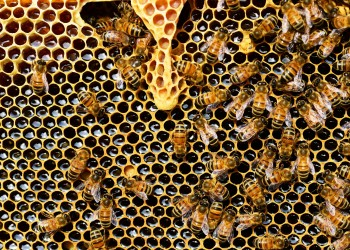 albine stup regina - sfatulparintilor.ro - pixabay_com