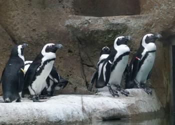 pinguini africani - sfatulparintilor.ro - pixabay_com