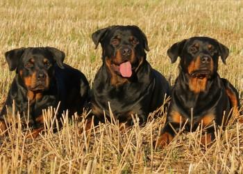Rottweiler - sfatulparintilor.ro - pixabay_com