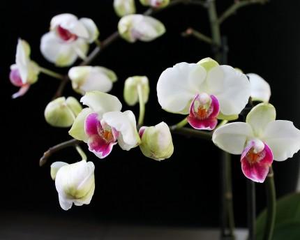 orhidee - sfatulparintilor.ro - pixabay_com