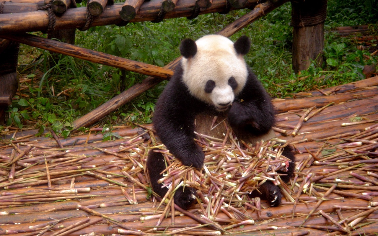 panda - sfatulparintilor.ro - pixabay_com
