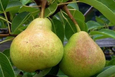 Aromate şi zemoase, perele sunt extrem de bogate în principii bioactive ce hrănesc şi sunt benefice întregului organism.