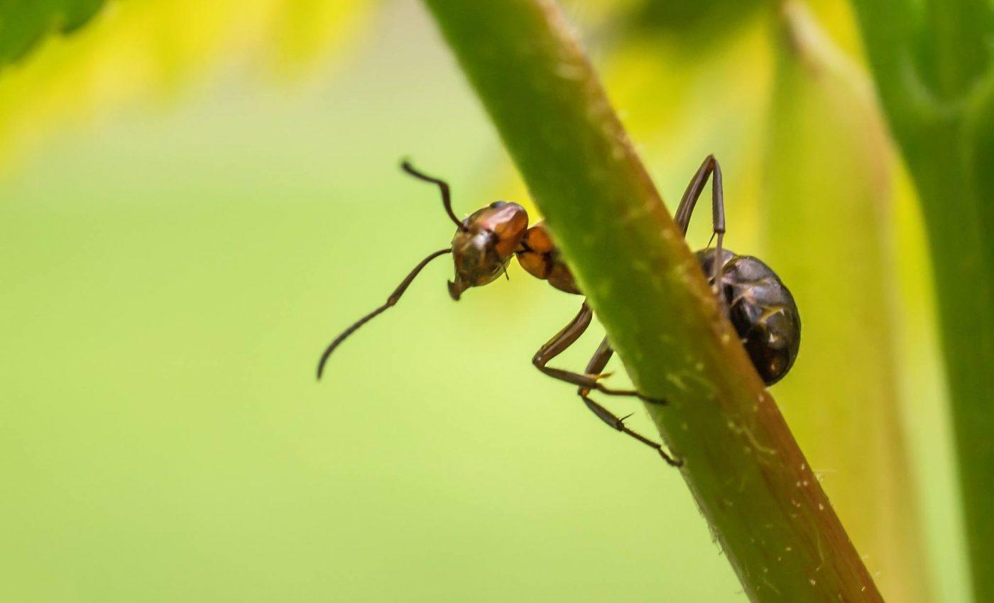 cum sa scapi de furnici - sfatulparintilor.ro - pixabay_com - nature-697126