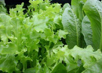 legume verzi - salata - sfatulparintilor.ro _pixabay_com