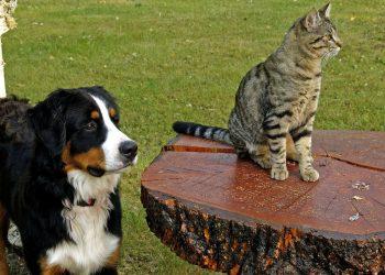catel - pisica - sfatulparintilor.ro - pixabay_com - bernese-mountain-dog-111878_1920