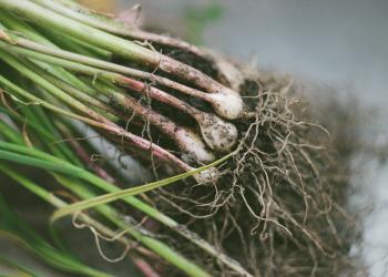 usturoi verde - sfatulparintilor.ro - pixabay_com - garden-1846590_1280
