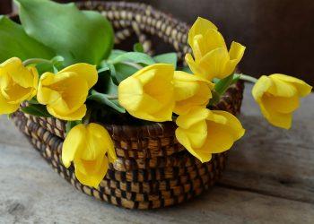 flori - lalele sfatulparintilor.ro - pixabay_com - tulips-708410_1920