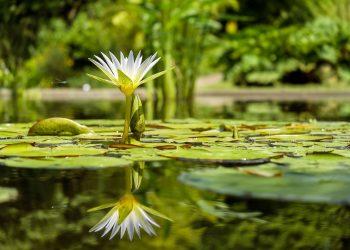 Cum iti dai seama ce vrea sufletul tau - sfatulparintilor.ro - pixabay_com - water-lily-1857350_1920