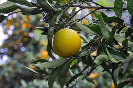 lamai - sfatulparintilor.ro - pixabay_com - orange-1307185_1920