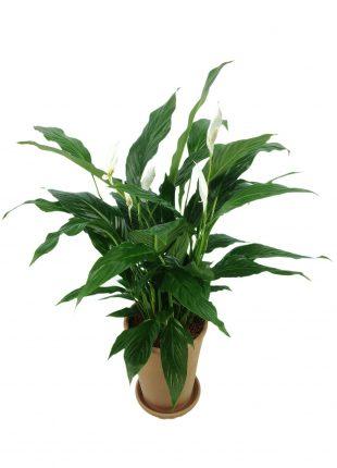 spathiphyllum - sfatulparintlior.ro - pixabay_com -811383_1920