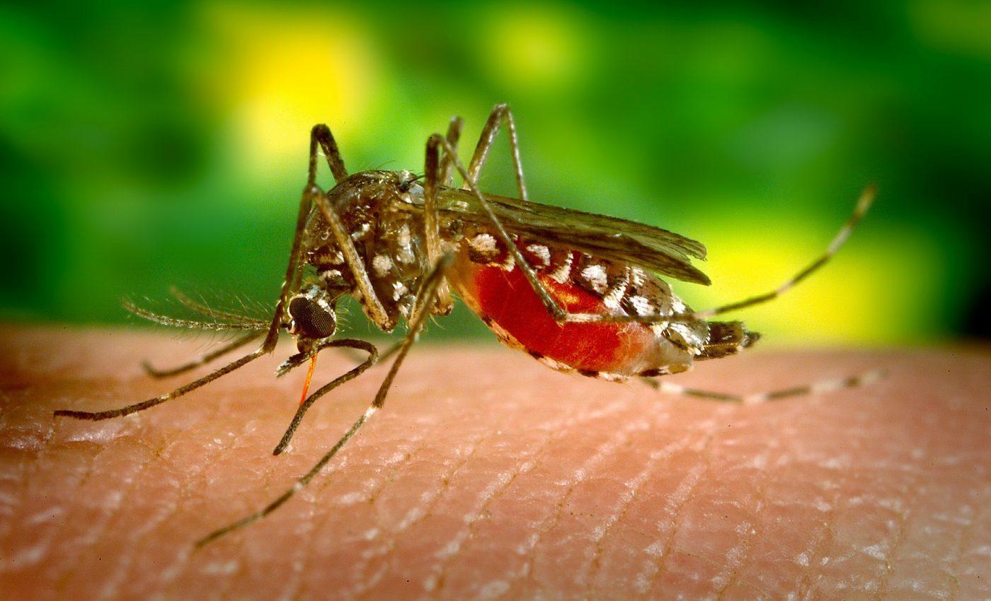 tantari - sfatulparintilor.ro - pixabay_com - mosquito-542156_1920