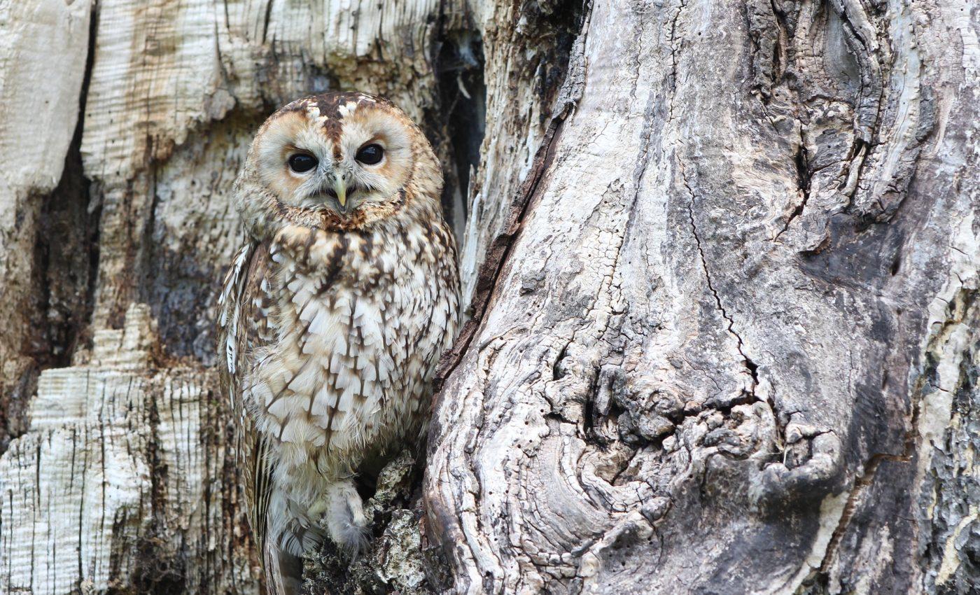 animale spirituale - sfatulparintilor.ro - pixabay_com owl-1576572_1920
