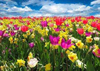 ce flori sa daruiesti - sfatulparintilor.ro - pixabay_com - spring-awakening-1197602_1920