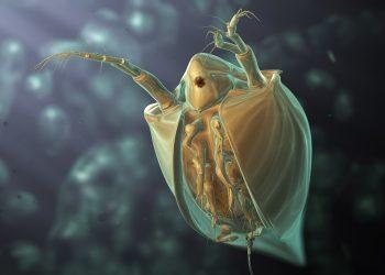 cum sa scapi de purici - sfatulparintilor.ro - pixabay_com - water-flea-1832201