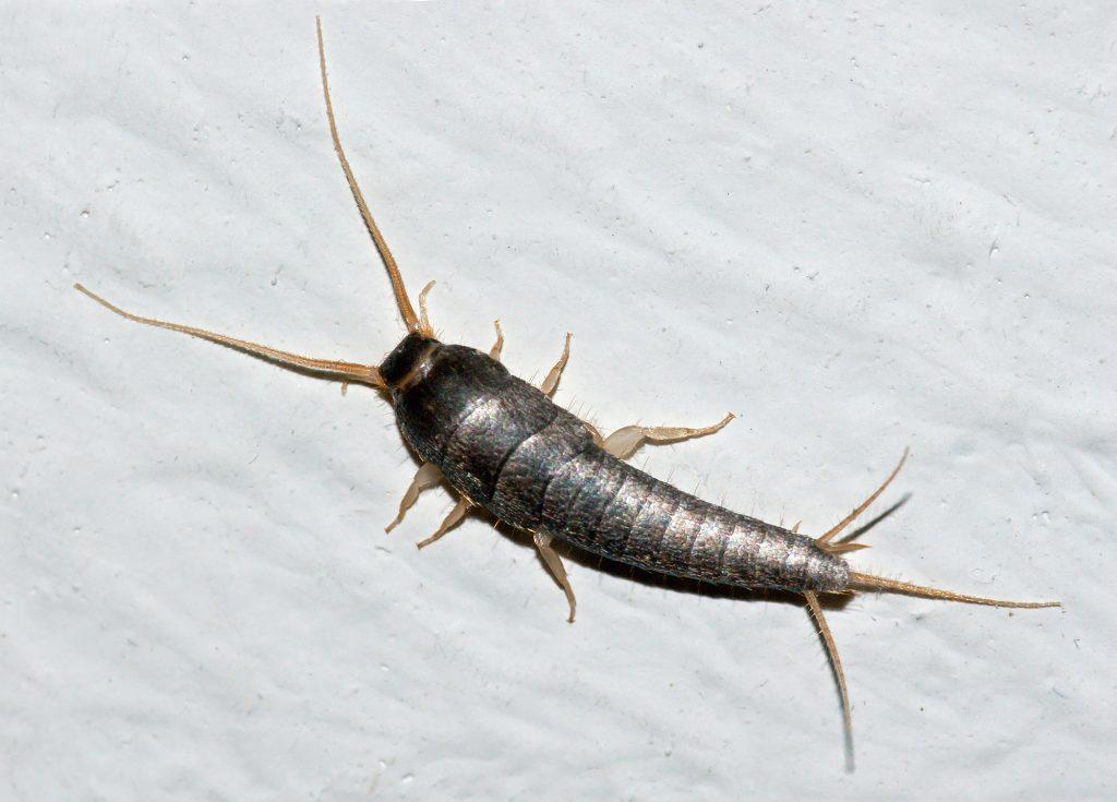 cum sa scapi de paraziti - sfatulparintilor.ro - wikipedia - LepismaSaccharina
