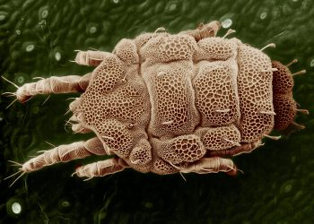 paraziti - acarieni - sfatulparintilor.ro - pixabay_com - yellow-mite-847862