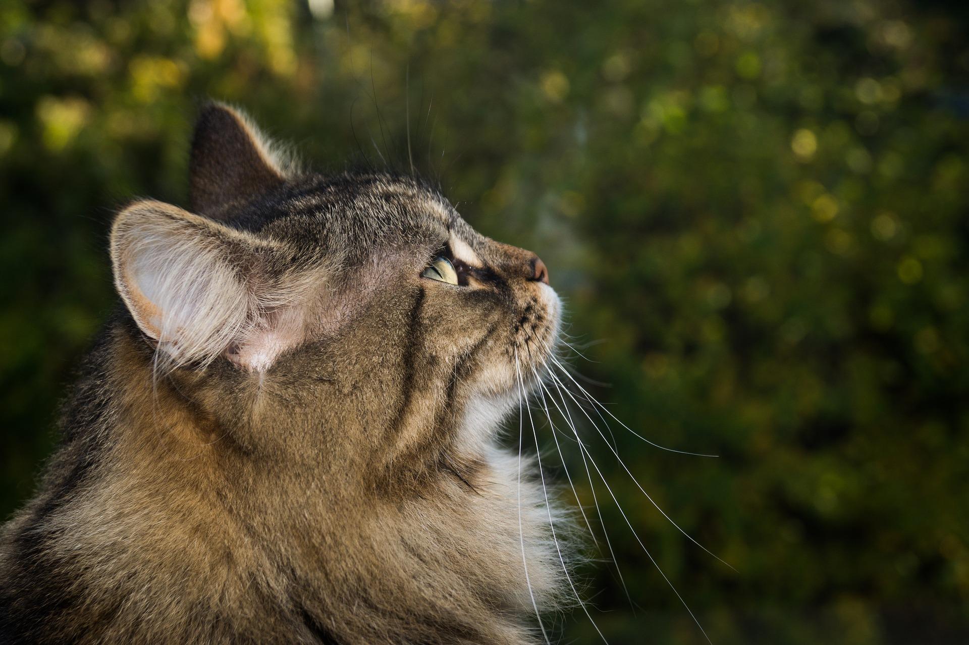 tors pisica - sfatulparintilor.ro - pixabay_com - cat-2908664_1920