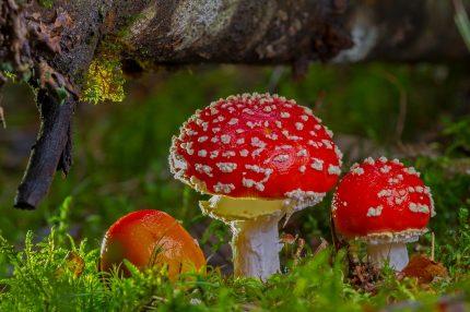 Amanita muscaria - sfatulparintilor.ro - pixabay_com - fly-agaric-2817723_1920