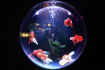 acvariu pesti - sfatulparintilor.ro - pixabay_com - fish-bowl-846060_1920