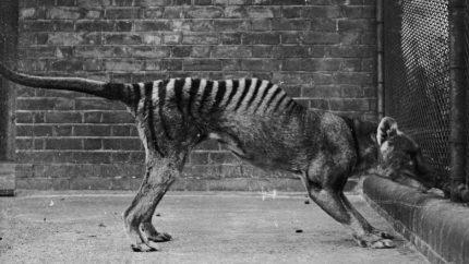 long-extinct-tasmanian-tiger-maybe-caught-on-film-1513364227