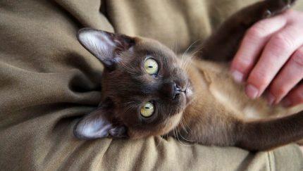 Rase de pisici * burmesa