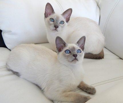 rase de pisici - Tonkinese