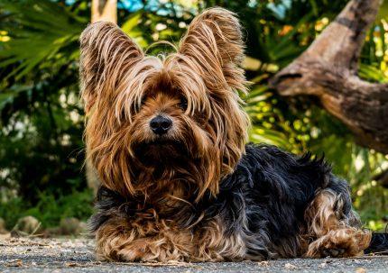 rase de caini - Yorkshire Terrier = sfatulparintilor.ro - pixabay_com - dog-216282_1920