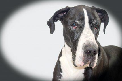 rase de caini = Dog German - sfatulparintilor.ro - pixabay_com - dog-1845741_1920