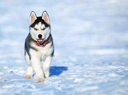 rase caini - Husky - sfatulparintilor.ro - pixabay_com - dog-2332240