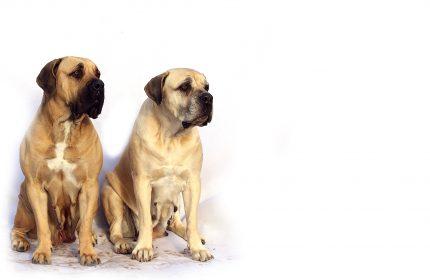 rase de caini - Mastiff- sfatulparintilor.ro = pixabay_com - bordeaux-869036