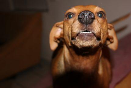 rase de caini - Pinscher - sfatulparintilor.ro - pixabay_com - dog-588431_1920
