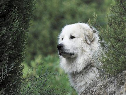 rase de caini - ciobanesc de pirinei - sfatulparintilor.ro - pixabay=com - pyrenean-mountain-dog-2690944_1920