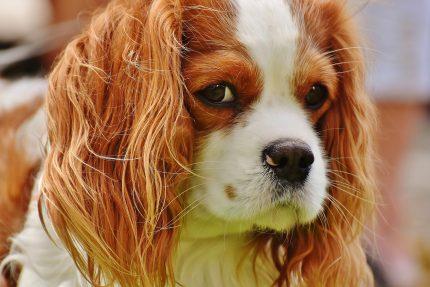 rase de caini - sfatulparintilor.ro = pixabay_com - Cavalier King Charles Spaniel dog-1610935_1920