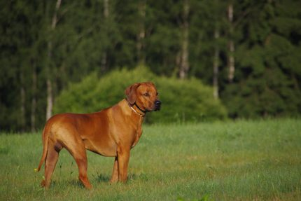rase de caini = sfatulparintilor.ro = pixabay_com - Rhodesian Ridgeback dog-2620212_1920