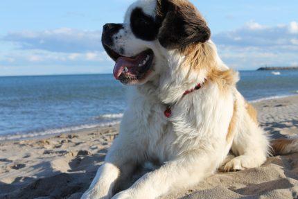 rase de caini - sfatulparintilor.ro - pixabay_com - Saint Bernard dog-726006_1920
