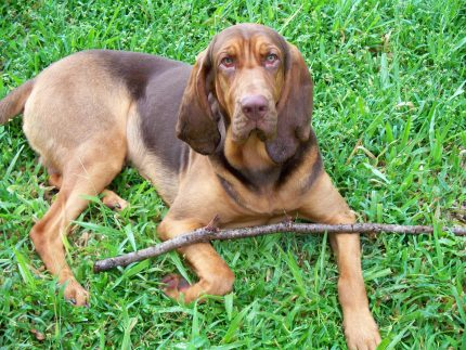 rase de caini = sfatulparintilor.ro = pixabay_com - bloodhound-1833602_1920