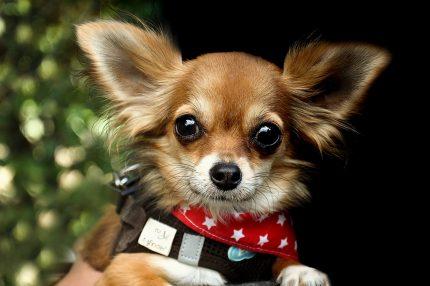 rase caini - sfatulparintilor.ro - pixabay_com- chihuahua-2765389_1920