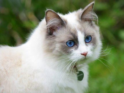 rase de pisici - Ragdoll- sfatulparintilor.ro- pixabay_com - cat-pretty-2126692